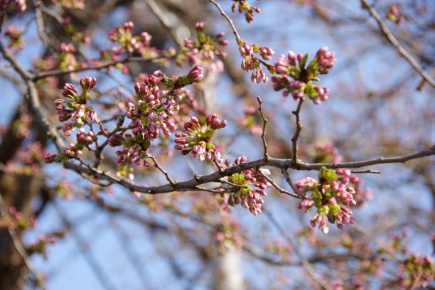 大石田の桜だより1   撮影地:社協事務所近くの街路樹、佐田町神社